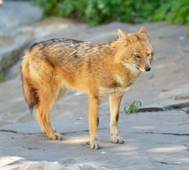 葡萄球菌金黄狐狼的犬属 图库摄影