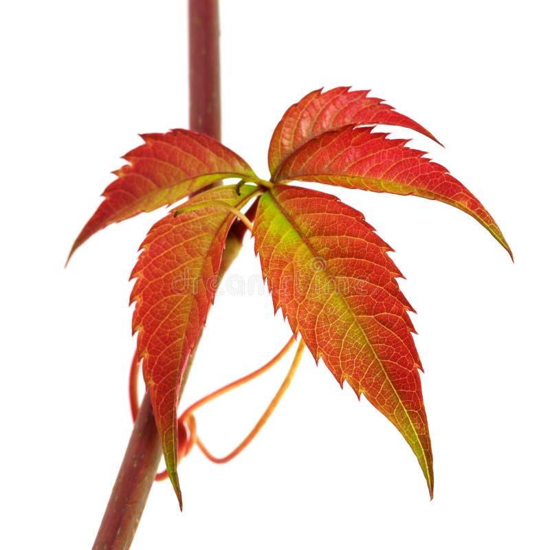 葡萄的多色秋天枝杈离开,爬山虎属quinquef 免版税库存图片