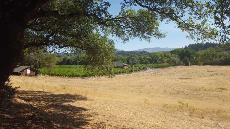 葡萄的领域在加利福尼亚的中央valleu的 免版税库存照片