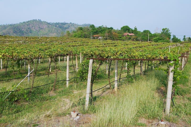 葡萄种植园在呵叻,泰国 库存图片