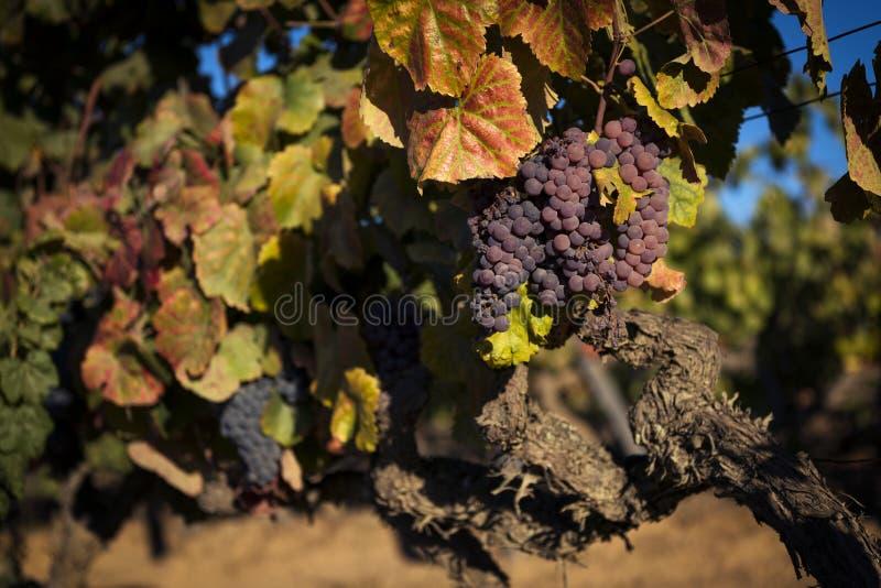 葡萄细节在酒庄园的在杜罗河地区 库存图片