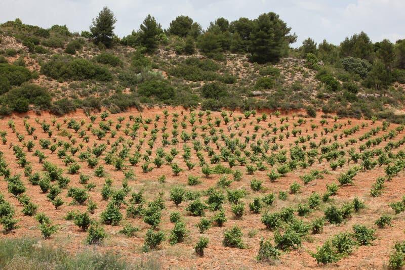 葡萄行在葡萄园里 免版税图库摄影