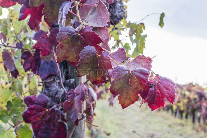 葡萄轴承藤老红色叶子宏指令,与被弄脏的葡萄园在背景中 收获季节的结尾在葡萄酒酿造的 库存图片