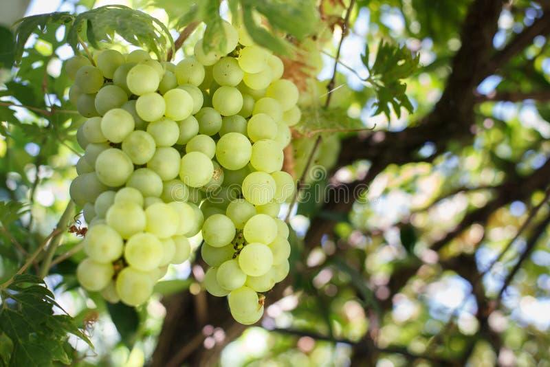 葡萄进入意大利vineyard2 免版税图库摄影