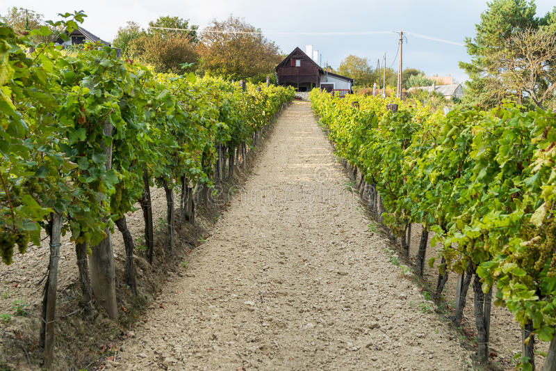 葡萄酒库和葡萄树在巴拉顿酒区域,匈牙利 免版税库存照片