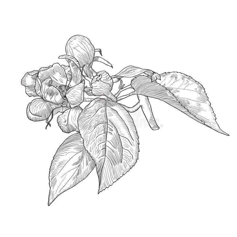 葡萄酒手拉的开花的苹果树枝杈 库存例证
