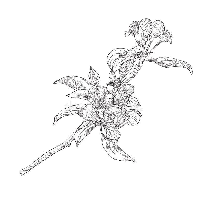 葡萄酒手拉的开花的苹果树枝杈 向量例证