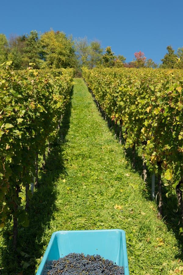 葡萄酒收获从黑比诺葡萄酒的 库存照片