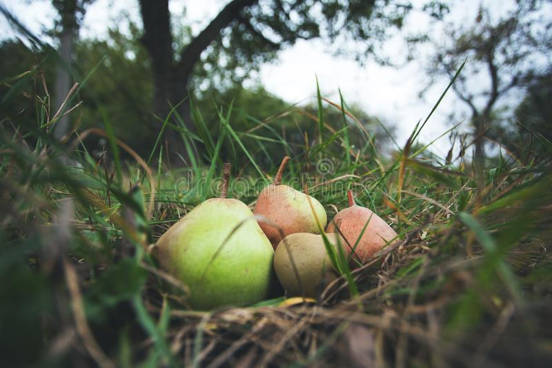 葡萄酒有机梨在树附近的庭院里 成熟和鲜美果子 库存图片