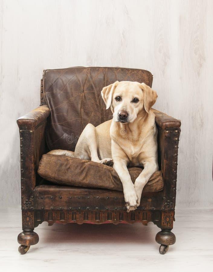 葡萄酒椅子的拉布拉多 库存照片