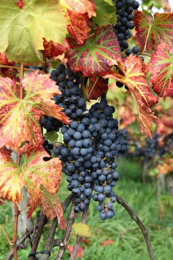 葡萄酒白比诺葡萄 免版税库存照片