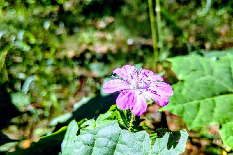 葡萄酒背景小的花,美好的自然,定调子设计春天自然,半支莲 免版税库存图片