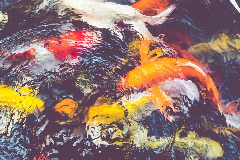 葡萄酒过滤器:Koi鱼在池塘,五颜六色的自然本底, Fa 库存照片
