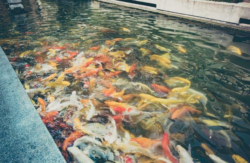葡萄酒过滤器:Koi鱼在池塘,五颜六色的自然本底, Fa 免版税库存照片