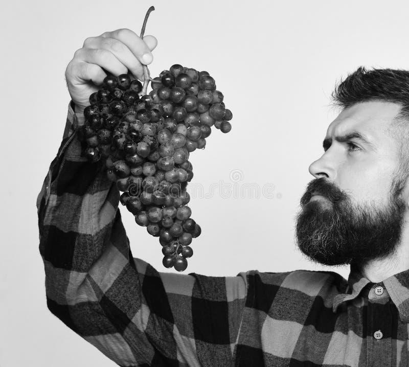 葡萄酒酿造和秋天庄稼概念 有胡子的人拿着在白色背景隔绝葡萄 种葡萄并酿酒的人与 图库摄影