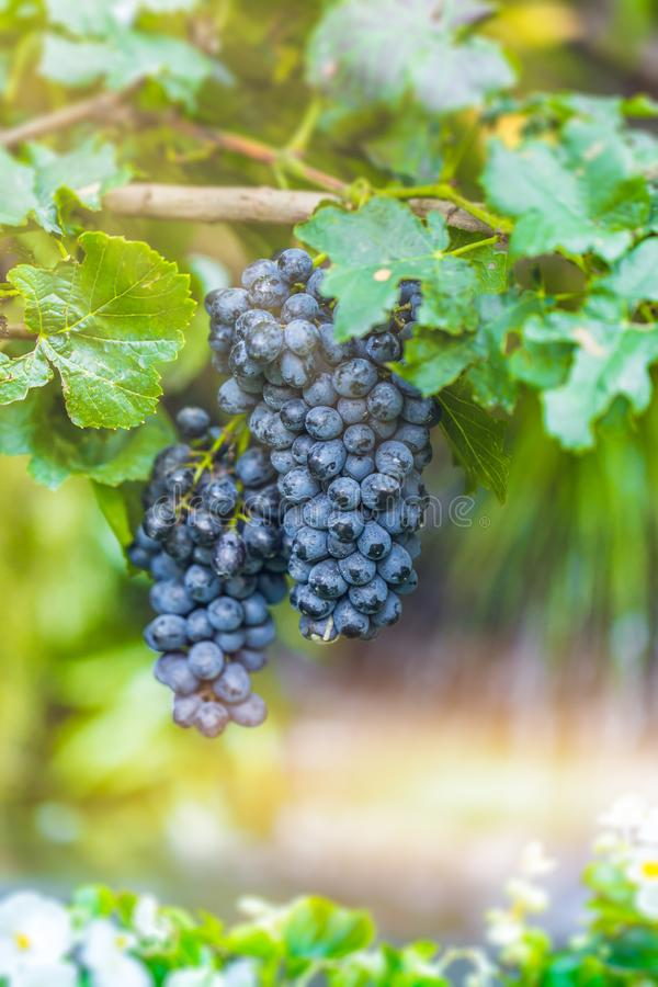 葡萄酒,落叶木质的藤莓果  图库摄影