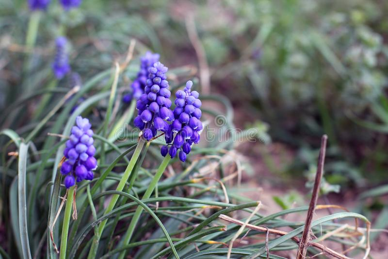 葡萄风信花在庭院里 蓝色花 免版税库存图片