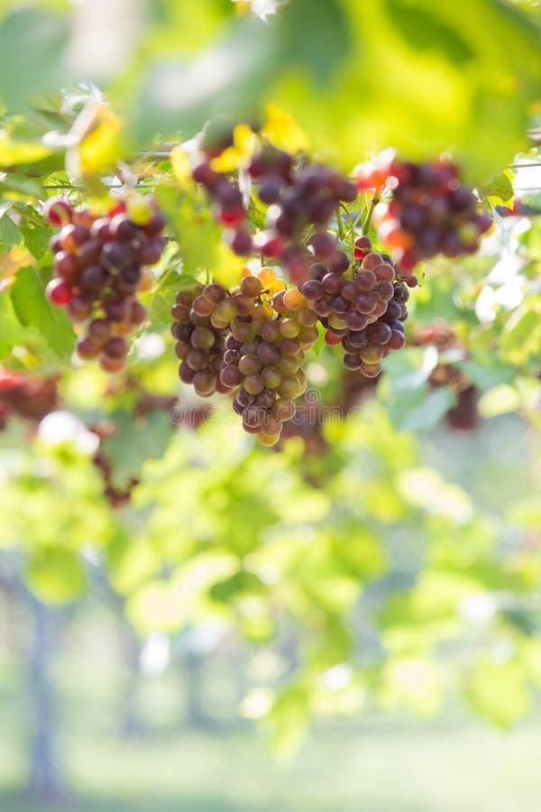 葡萄,葡萄园 库存照片