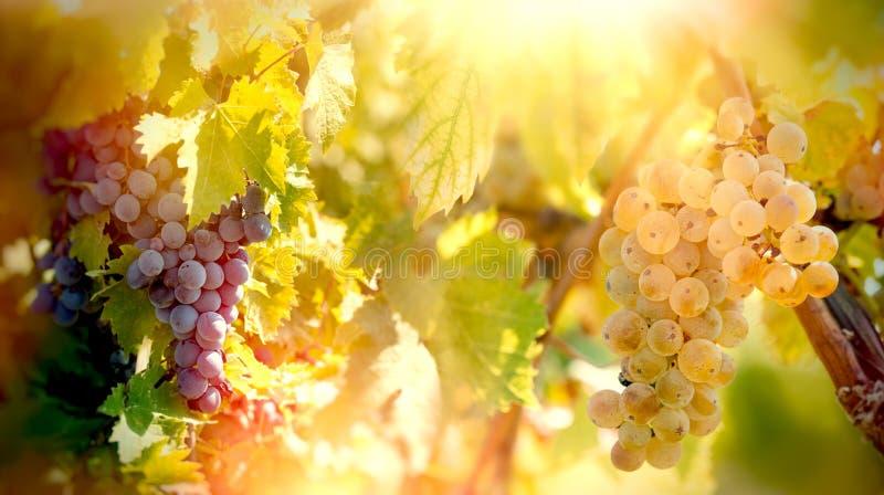 葡萄-白色和红葡萄蕾斯霖在藤的葡萄酒,在葡萄树在葡萄园里 免版税图库摄影