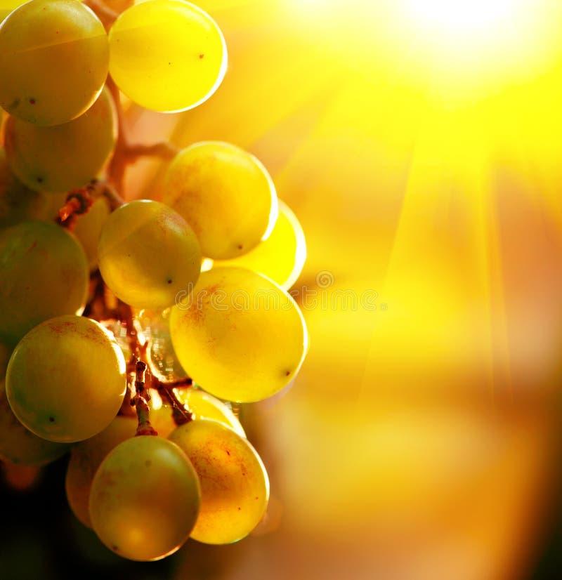 葡萄 葡萄在葡萄树的 免版税库存照片