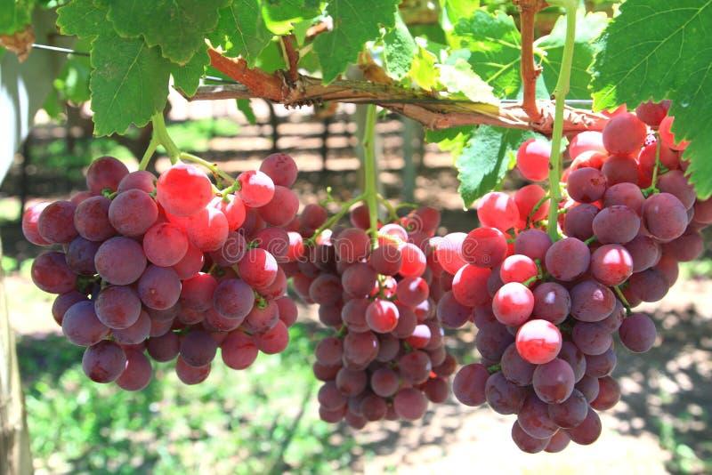 Download 葡萄 库存照片. 图片 包括有 重点, 问题的, 收获, 自然, 背包, 关闭, 可口, 增长, 果子, 葡萄 - 26280046