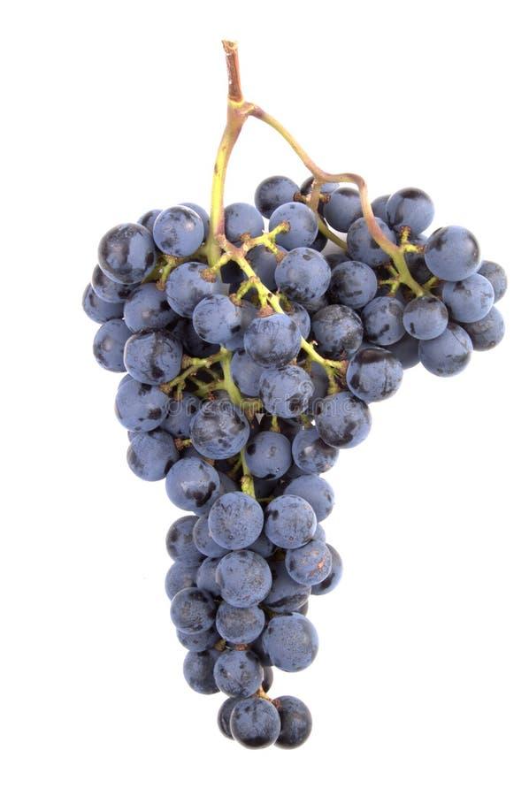 葡萄noir白比诺葡萄 免版税库存照片
