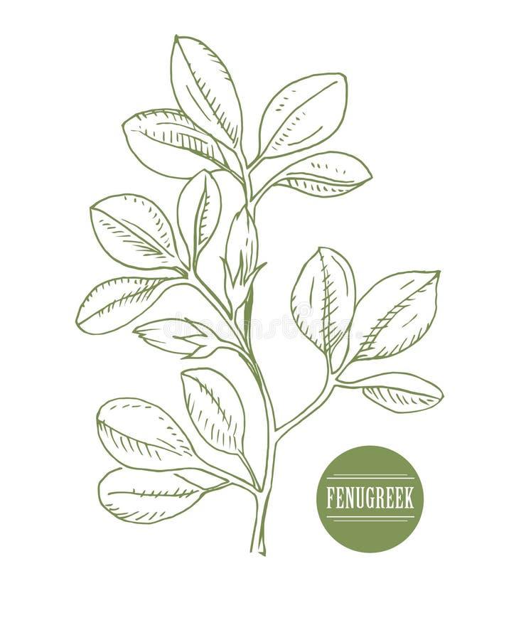 葫芦巴 Shambala Helba 胡芦巴属foenum-graecum,药用植物 草本汇集 手工制造 向量 库存照片