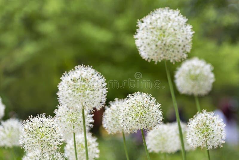 葱属在植物园的Nigrum花 免版税库存图片