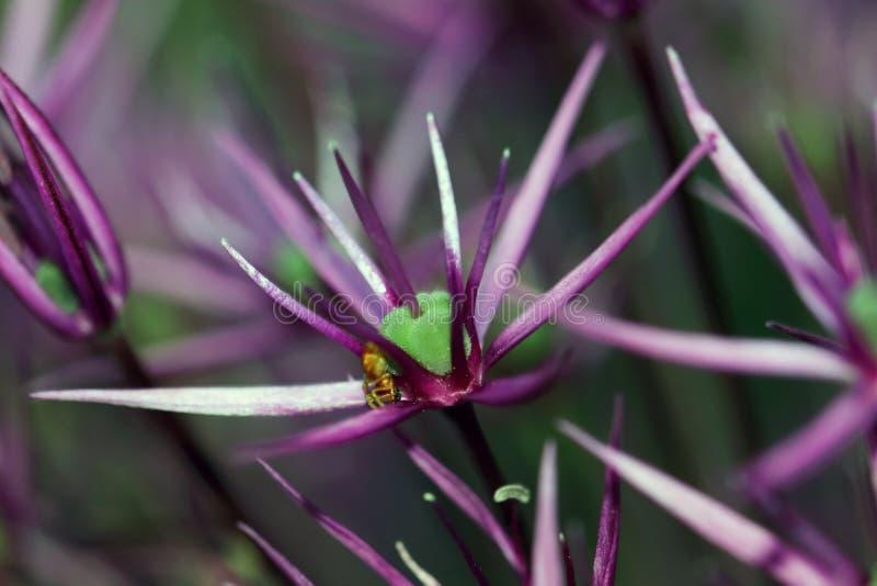葱属是装饰葱的植物的名字 免版税库存图片