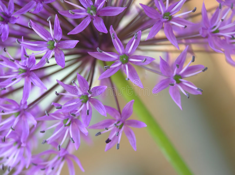 葱属紫色 免版税图库摄影