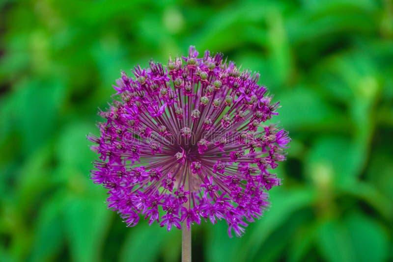 葱属花在庭院里 库存照片