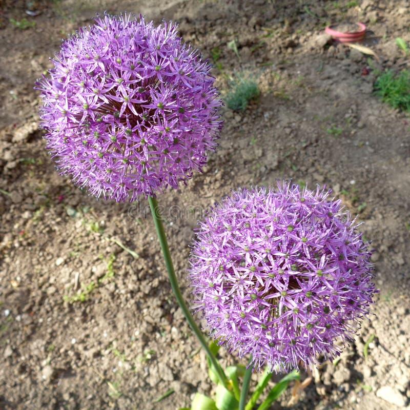 葱属aflatunense `紫色感觉`花 免版税图库摄影