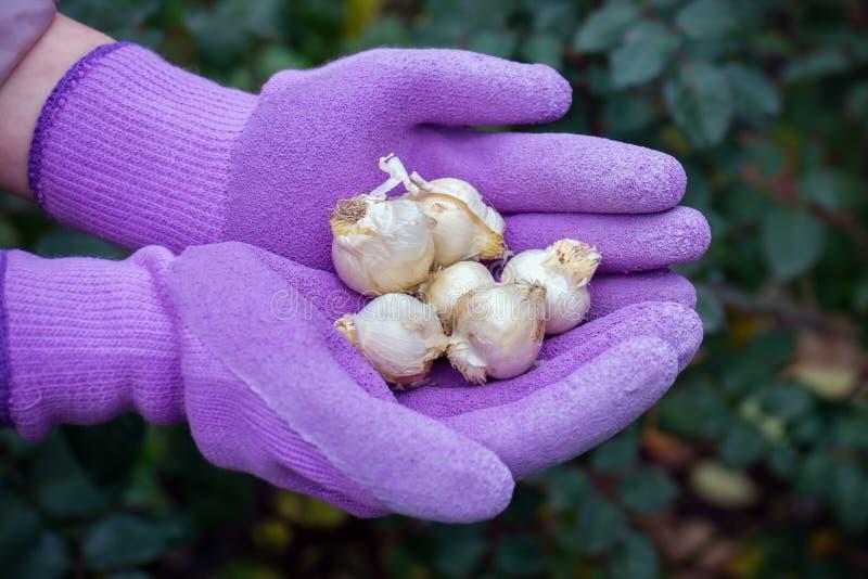 葱属caeruleum电灯泡在准备好的手套的花匠的手上被种植 免版税图库摄影