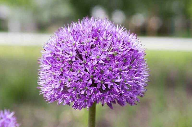 葱属hollandicum,小组紫色波斯装饰葱在绽放开花 库存照片