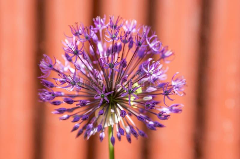 葱属hollandicum,小组紫色波斯装饰葱在绽放,红色篱芭开花, 图库摄影