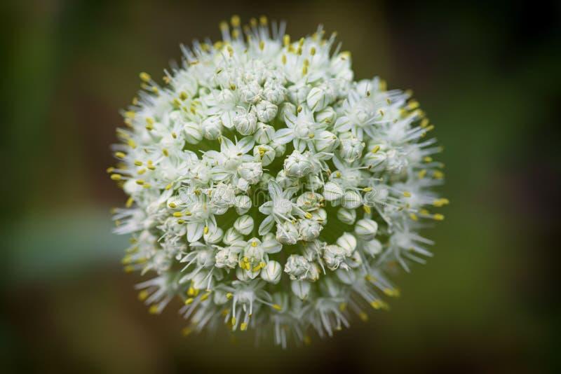 葱属nigrum花蕾在夏天 宏观图象 与开花在一个夏天的装饰葱花的远景的特写镜头 库存照片