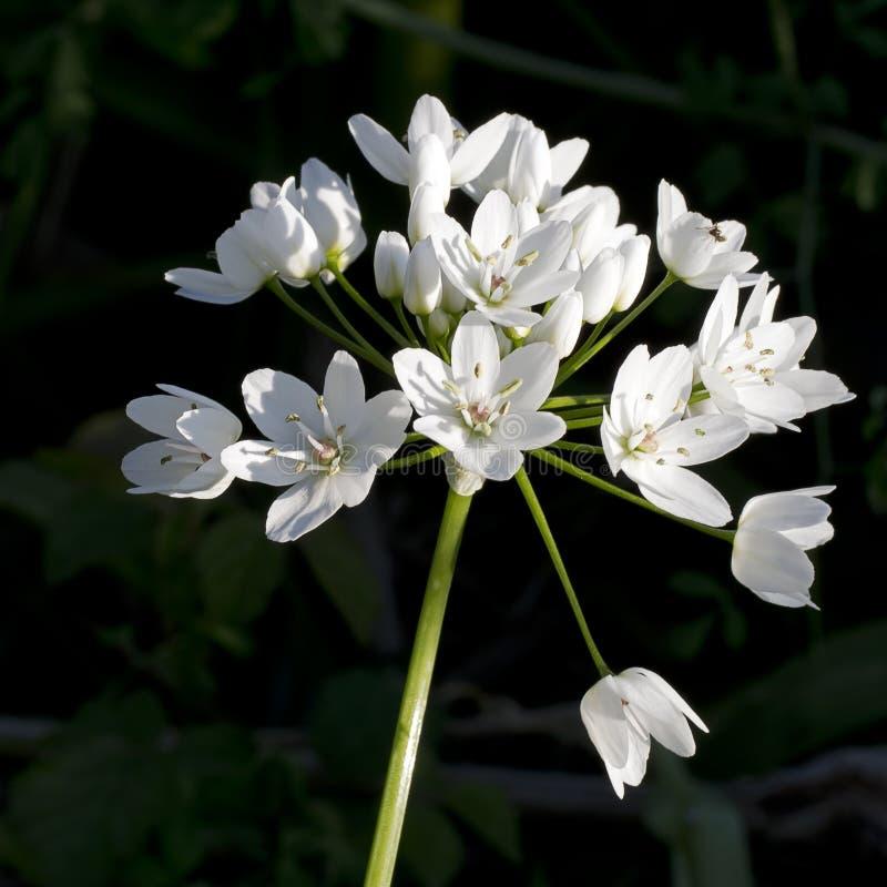 葱属ursinum -在木头的野生蒜 开花白色 免版税库存照片