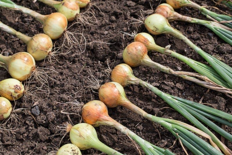 Download 葱收获 库存照片. 图片 包括有 陆运, 绿色, 夏天, 成熟, 蔬菜, 产量, 从事园艺, 收获, 新鲜 - 62530388