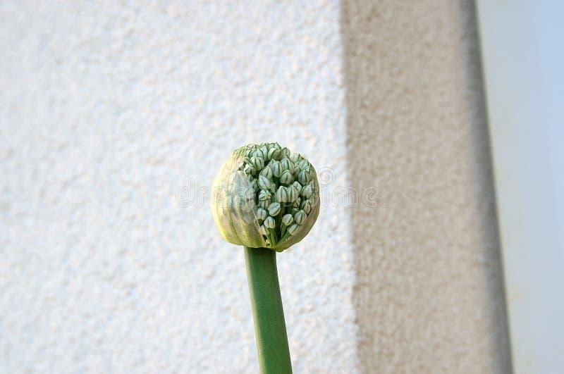 葱植物 库存照片