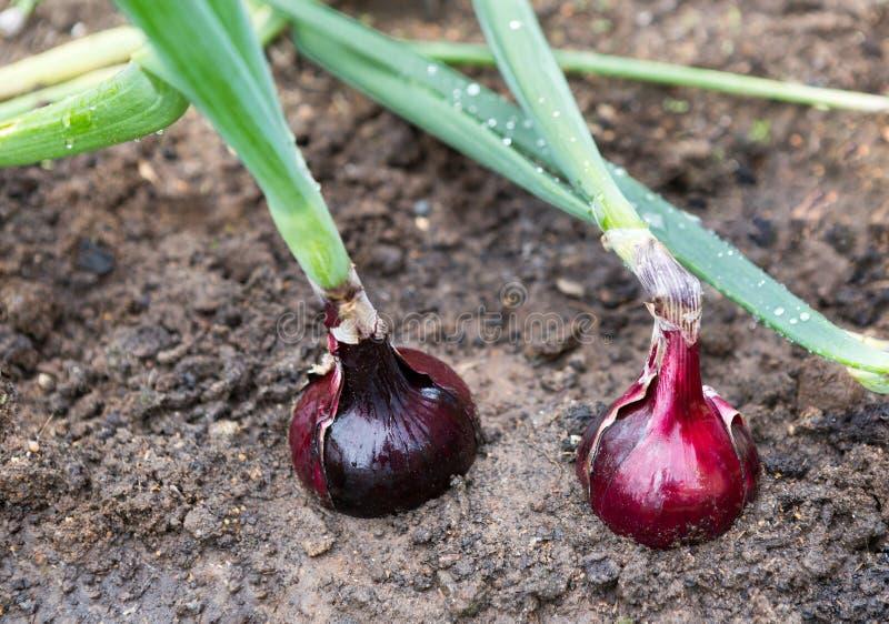 葱植物 免版税库存图片