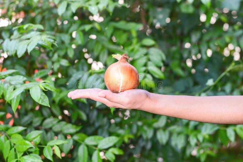 葱用新鲜的新芽在手边 免版税库存图片