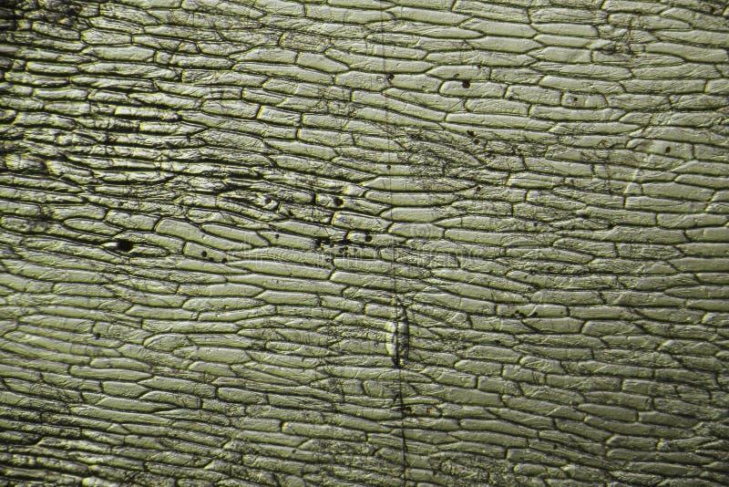 葱细胞-微观图象 库存照片