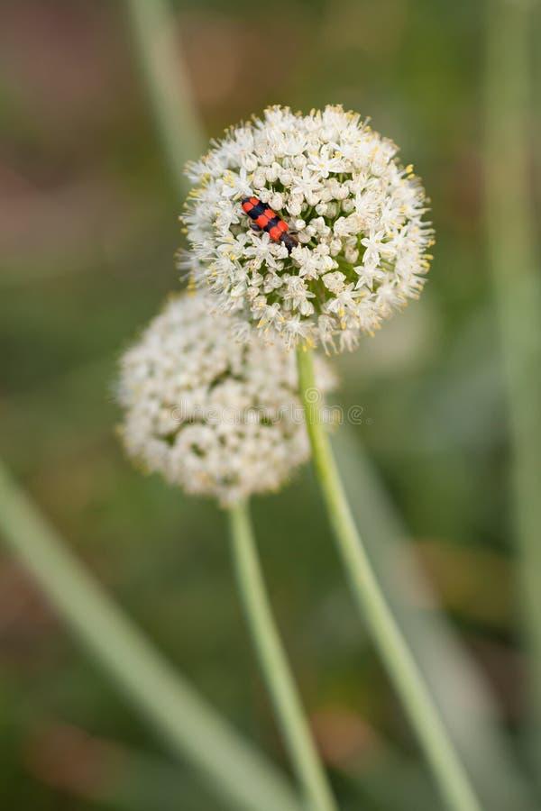葱花和臭虫 免版税图库摄影