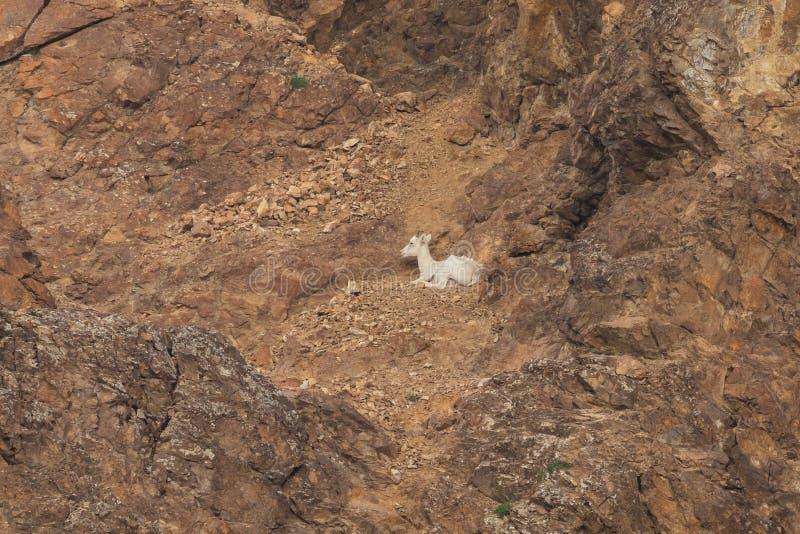 蒂纳里国立公园阿拉斯加的野绵羊 库存照片