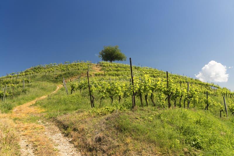 蒙泰韦基亚的(Brianza,意大利)葡萄园 库存图片