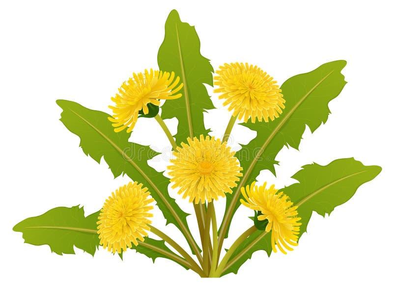 蒲公英与叶子的花花束春天的 皇族释放例证