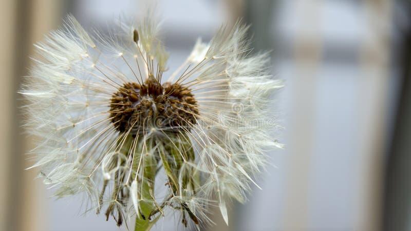 蒲公英从边的种子头 库存图片