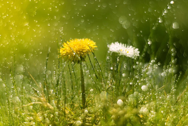 蒲公英和雏菊在雨中 与美好的bokeh的宏指令 选择聚焦 免版税库存照片