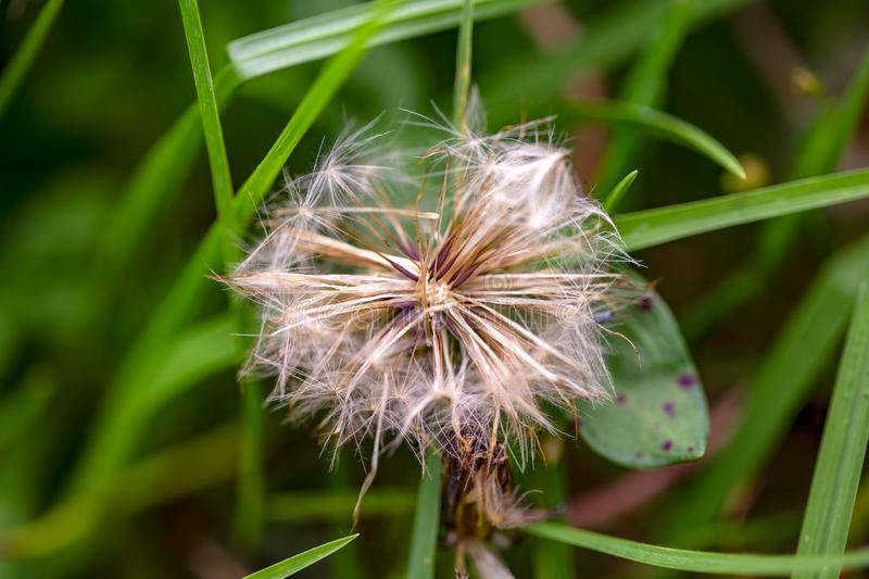 蒲公英在草中的种子头 库存图片