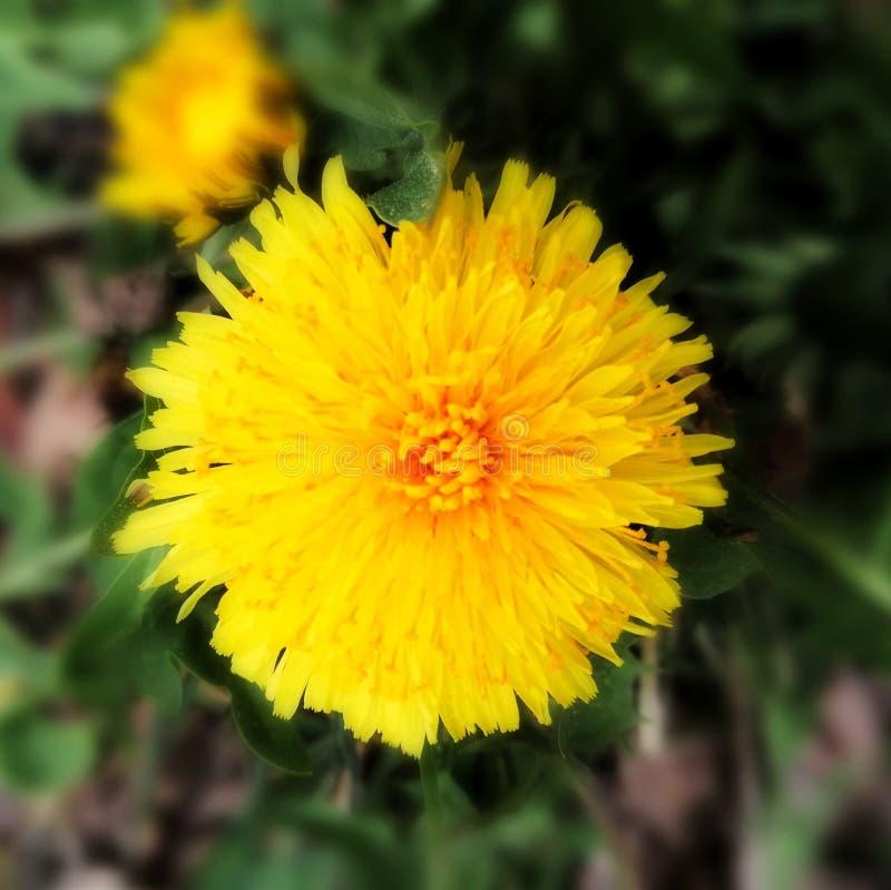 蒲公英开花的特写镜头 库存照片